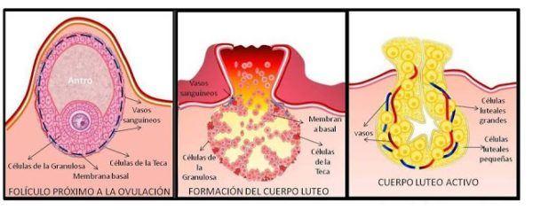 Formación del cuerpo Lúteo