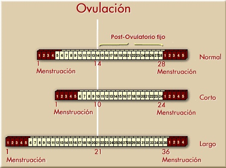 fase-lutea-tipos-ovulacion