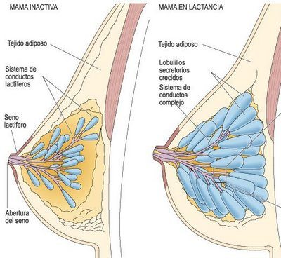 progesterona-embarazo-cambio-senos