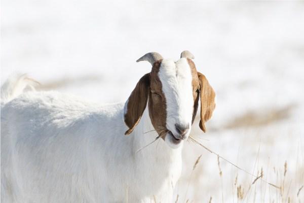 Leche de cabra