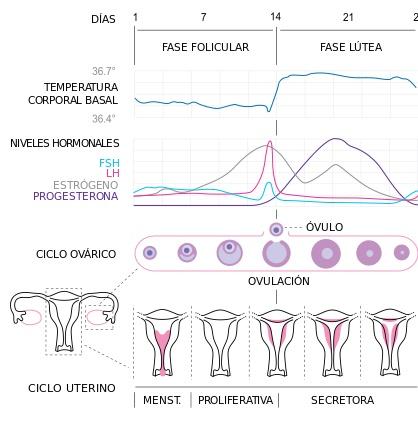 fase-lutea-dibujo-ciclo