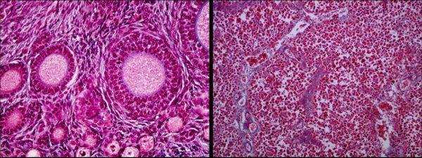 fase-lutea-foliculos-desarrollo