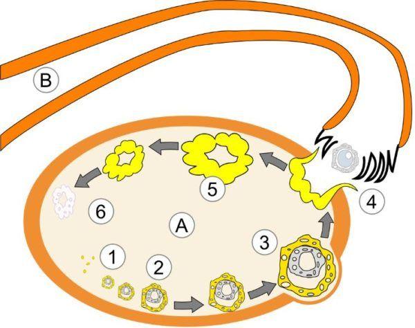 progesterona-embarazo-fase-lutea