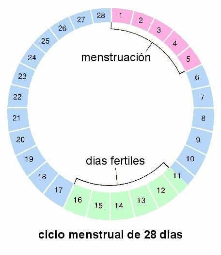 sencilla-calculadora-ovulacion